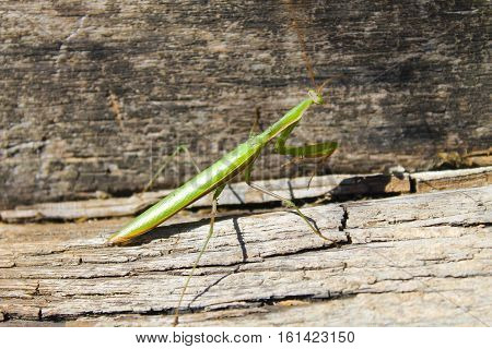 Praying mantis (Mantis religiosa) on wooden background