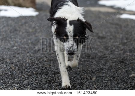 Frontal view of dog (border collie) walking on gravel looking into camera with eye contact