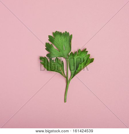 resh parsley herb leaves isolated on pink background cutout