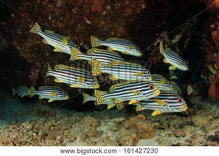 School of Oriental Sweetlips fish on coral reef