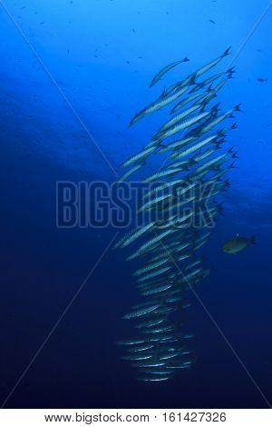 Fish school barracuda in blue ocean