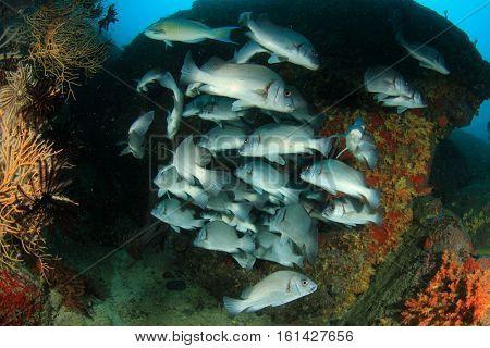 School of Sweetlips fish on coral reef