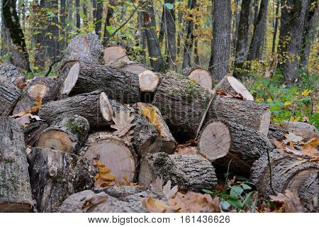 Big pile of oak firewood in the middle of autumn oak forest cut out and prepared for transportation close up view