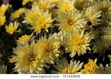 Beautiful yellow chrysanthemum macro photography in botanical garden