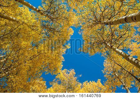 Beautiful Aspen tree during autumn in Grand Teton National Park