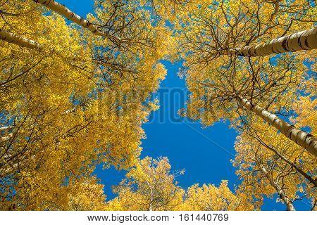 Beautiful Aspen tree during autumn in Grand Teton National Park