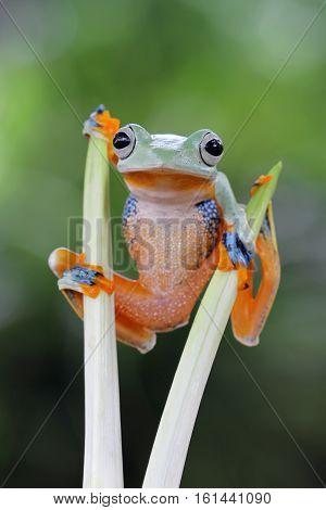 Beautiful Javan tree frog in the middle branch