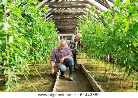 farming, gardening, old age and people concept - senior man with hoe weeding garden bed and woman harvesting crop of tomatoes at greenhouse on farm