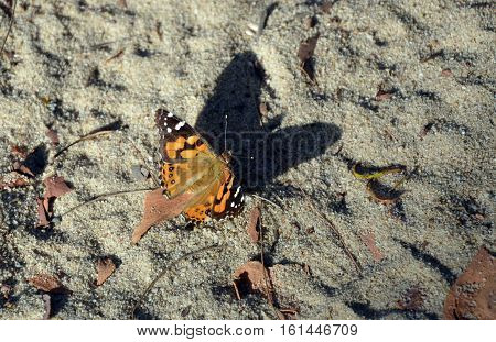 Australian Painted Lady Butterfly, Vanessa kershawi, and shadow on the ground. Royal National Park, Sydney, Australia