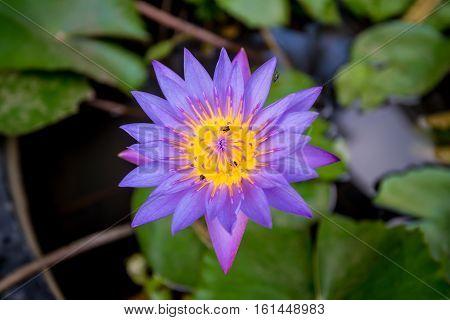 Blue lotus or Nymphaea caerulea on the pond