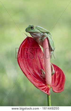 Dumpy frog, standing, beautiful, on branch, cute, tree frog