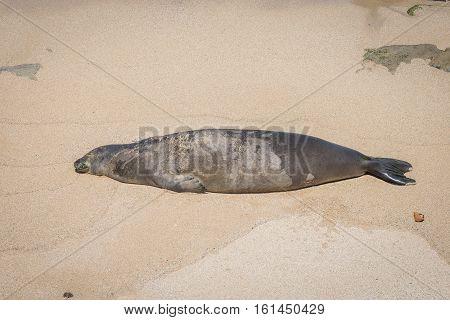 Endangered Sleeping on Maui beach Hawaii USA