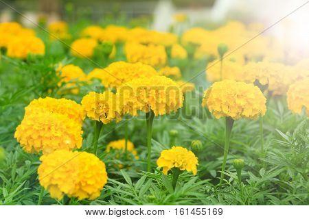 marigold flower under the lighting sun .