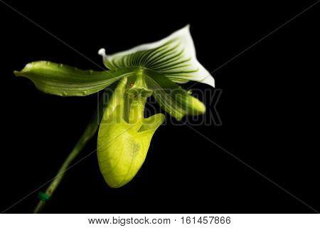 Paphiopedilum Villosum., Orchidaceae., Paphiopedilum Villosum (lindl.) Stein., Lady Slipper Orchid P