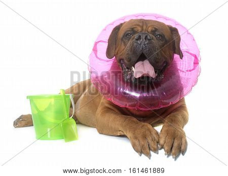 dogue de Bordeaux in summer in front of white background