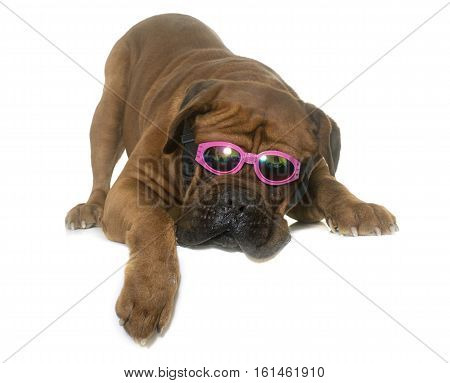 dogue de Bordeaux and glasses in front of white background