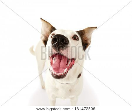 Funny Andalusian ratonero dog on white background, close up