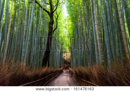 Bamboo forest at Arashiyama Kyoto Japan in morning.