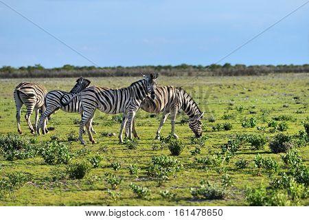 Herd of Damara zebras at sunrise Equus burchelli Etosha national park Namibia Africa