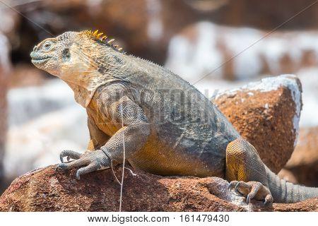 Big land iguana endemic to the Galapagos islands, Ecuador