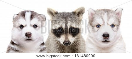 Portrait of two puppies of breed huskies and raccoon, closeup, isolated on white background
