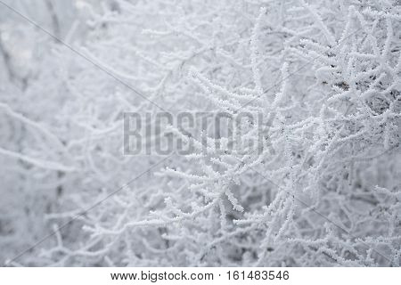 Branches Covered Hoar-frost In The Park