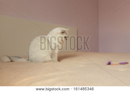 British cat sitting on a bed and looking on boring toy
