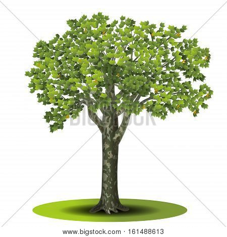 detached tree sycamore with green leaves on a white background