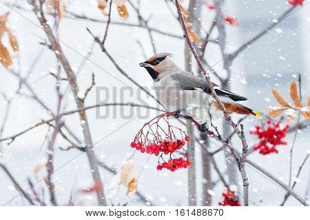 Waxwing bird sitting on a branch of rowan in frost