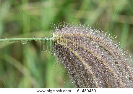 Poaceae Or Gramineae