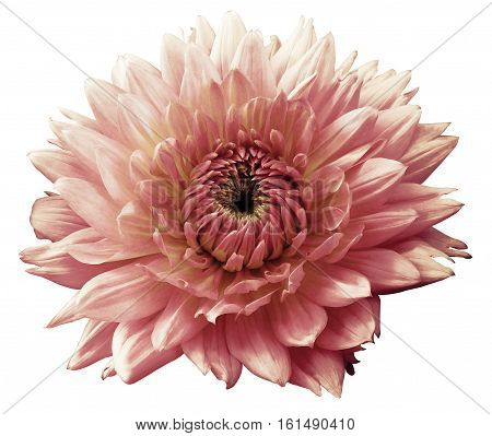 Flower light pink motley dahlia. Isolated on a white background. Close-up. without shadows. For design.