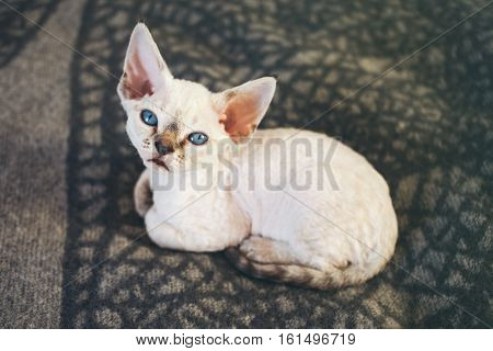 Close-up of Devon Rex kitten with blue eyes, who is laying down on soft wool blanket and looking at camera, sun light flair effect.