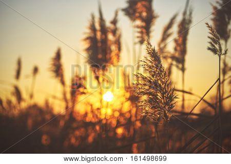 Many common reed (phragmites) on the sunset