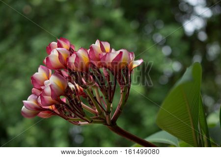 Azalea bloom flower bouquet big beautiful sun glare. Beautiful background blur.