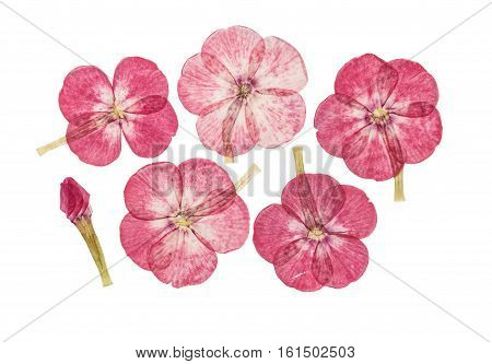 Set of pressed and dried flowers pink phlox isolated on white background. For use in scrapbooking floristry (oshibana) or herbarium.