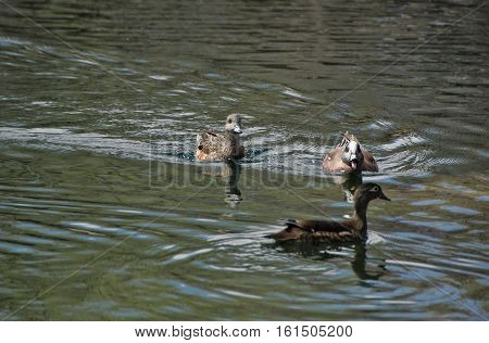Female mallard ducks squabbling on a lake