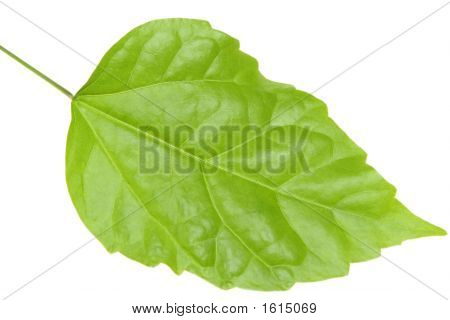 Beautiful green leaf of a tree on a white background poster