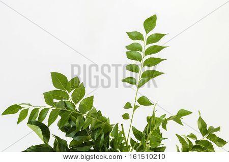 Fresh curry leaves (Murraya koenigii ) or sweet neem