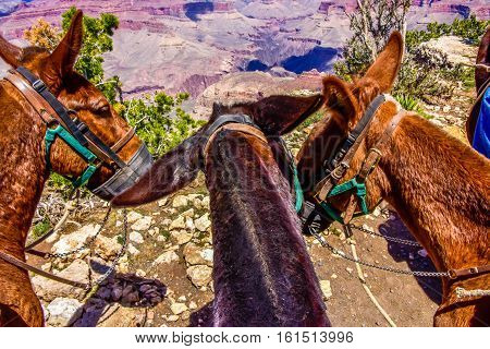 Los Tres Amigos Mules overlooking the grand canyon