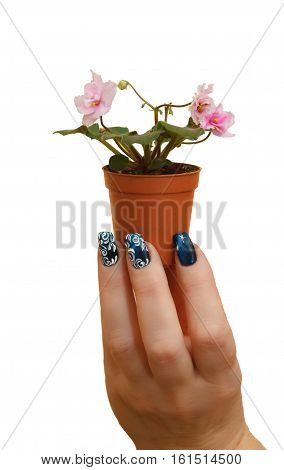 female hand with manicure holds a pot of violets