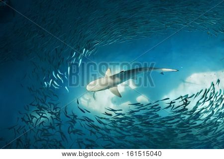 Shark and small fishes in ocean - nature background