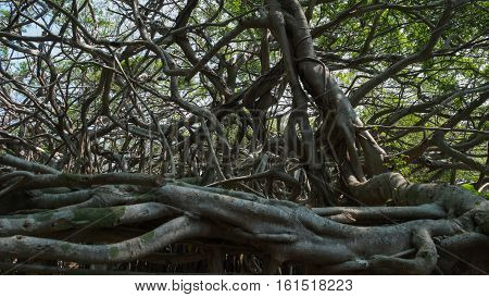 Very big banyan tree in the jungle. Tree of Life Amazing Banyan Tree Trai Ngam at Nakhonratchasima in Thailand