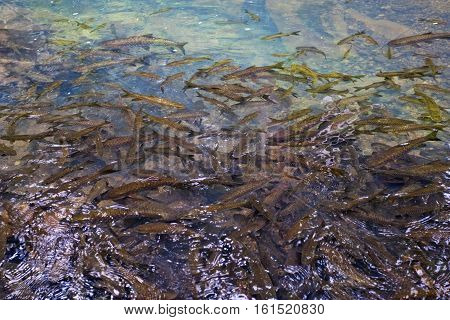 Fish on water.Clear Water background.Group of fish.