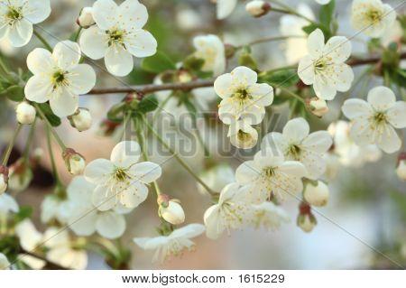 Branch Cherry Blossoms
