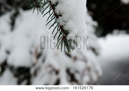 Fir tree needles with the thick snow
