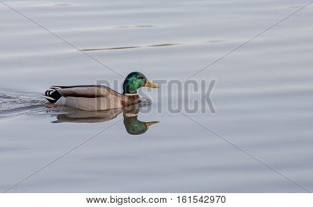Mallard, Duck, male,reflections, on lake , swimming