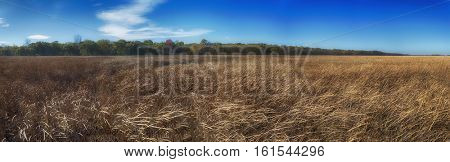 Panoramic view of Point Pelee National Park landscape with yellow grass during the fall season. Taken in Ontario, Canada