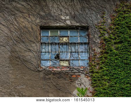 The Old Window And Ivy Of A Farmhouse