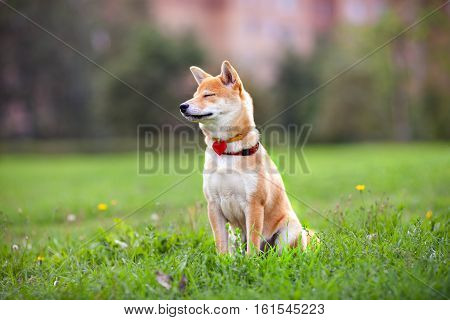 A young shiba inu sits in the park, dreams