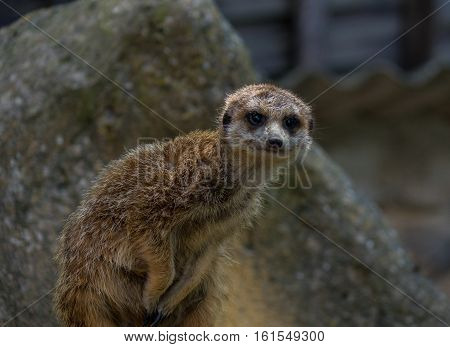 .the Meerkat In A Zoo In Germany